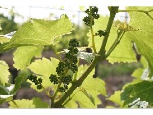 Vine plots - Lalande de Pomerol
